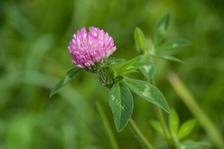 A sprig of blooming clover.