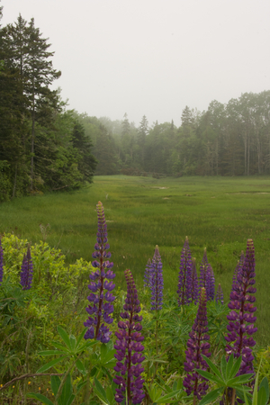 lupines: Some lupines in a lush green meadow.