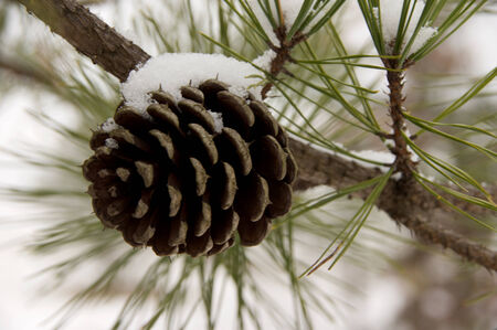 A pine cone with a snow cap.