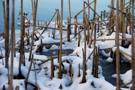 bulrushes: Bulrushes frozen into the edge of a lake.