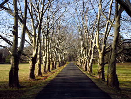 A paved driveway lined in old sycamore trees. Stock Photo