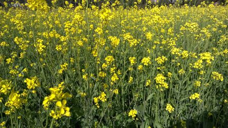 A field of mustard plants in full bloom. Stock Photo