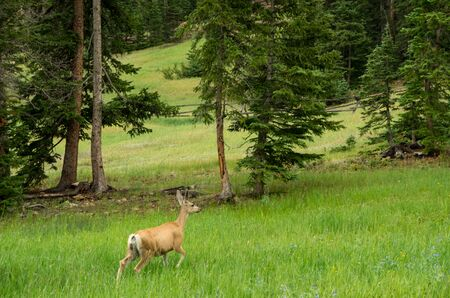 A deer wandering through a mountain meadow.