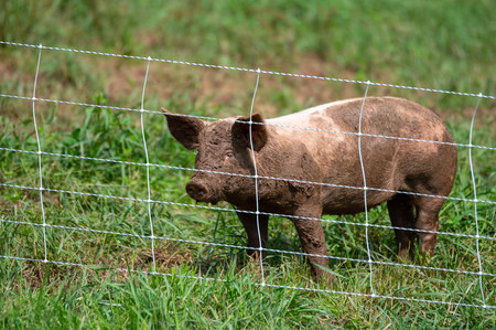 A pig standing behind a fence in the pasture.
