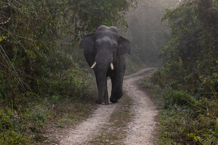 A wild bull elephant on the road in the jungle.