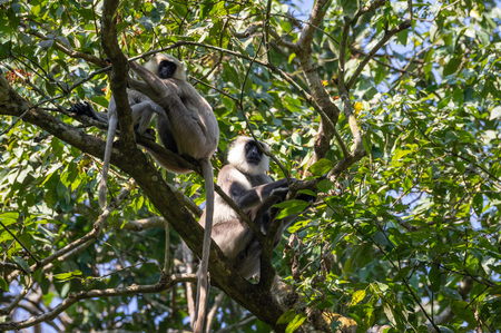 Gray Langur Monkeys in the tops of the trees.
