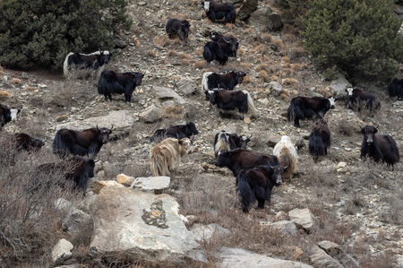 Some yaks standing on a steep hillside in northern Nepal.