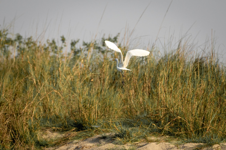 The Intermediate Egret or the Ardea intermedia flying. Imagens