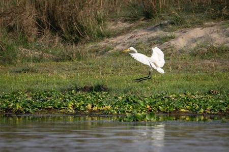 The Intermediate Egret or the Ardea intermedia flying. 版權商用圖片