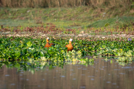 The Ruddy Shelduck or Tadorna ferruginea known in India as the Brahminy duck and it lives on the Indian subcontinent. Фото со стока