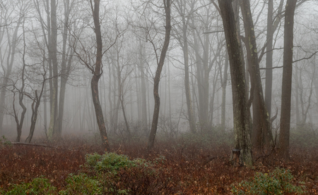 A foggy morning among the trees of the forest.