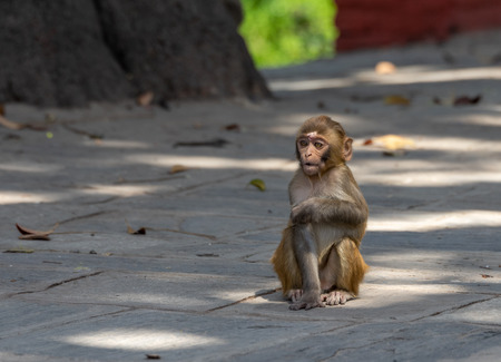 A small Baby Macaque or Macaca sitting on the sidewalk.