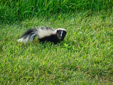 A skunk wandering around on the lawn. Фото со стока