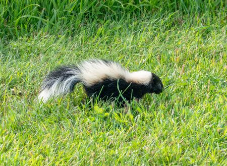 A young skunk walking around in the yard. Stock Photo