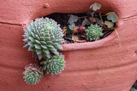 A background of hens and chicks succulent plants in a clay pot.
