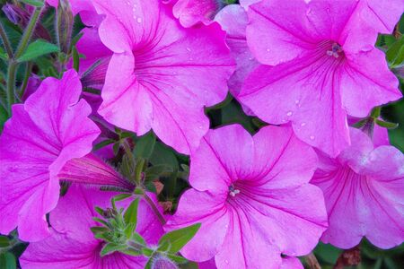 The bright purple of some petunias in a flower bed.