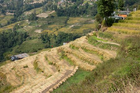 Rice freshly harvested on the terraced hillsides of Nepal. Stock Photo