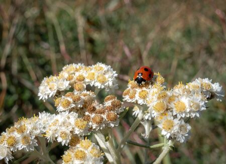 A ladybug sitting on a white flower in a meadow.
