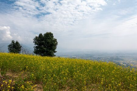 A field of mustard plants on the top of a mountain overlooking a valley.
