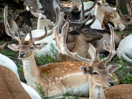 A Herd of Fallow Deer in the Forest during the day.