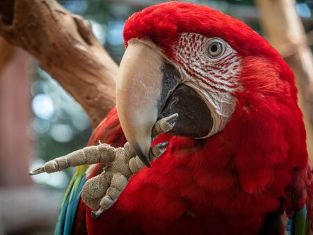 A macaw picking its toes with its beak.
