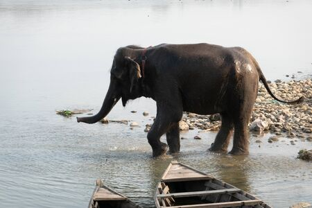 An Elephant Cooling off in the River in the Chitwan National Park in Nepal.