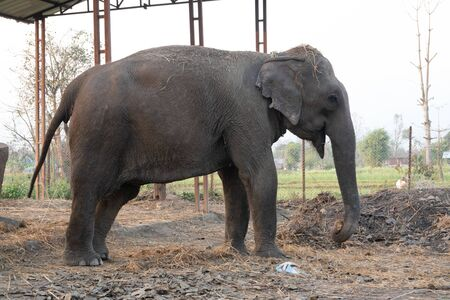 An elephant in captivity to preserve the species from extinction.