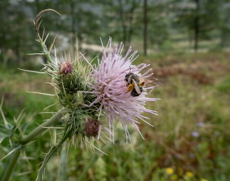 A small brightly colored bee on a purple thistle flower.