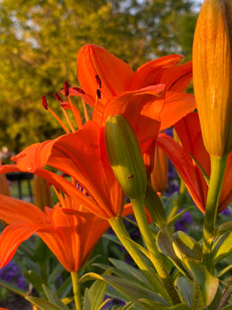 The beauty of the orange tiger lilies in the evening sunshine.