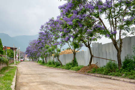 A street lined with the beautiful blooming purple Jacaranda trees. Imagens
