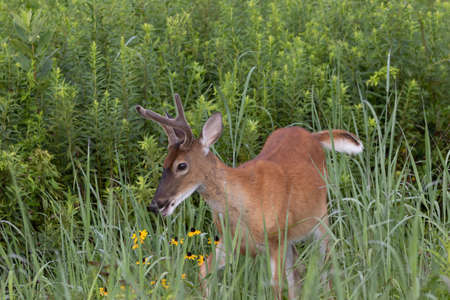 A Yearling White-tailed Buck grazing in the back pasture.
