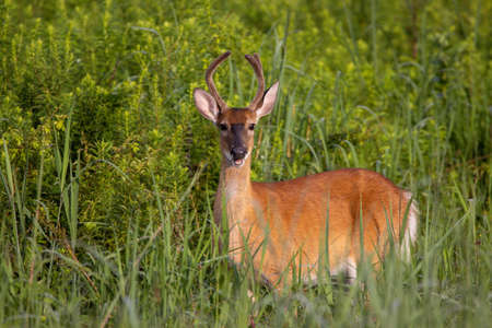 A three point yearling buck in a grass field. Imagens