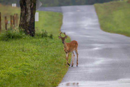 A three point yearling buck walking across a back country road. Imagens