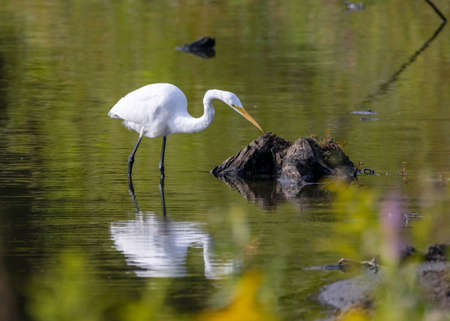 An egret fishing in a lake in the morning light.