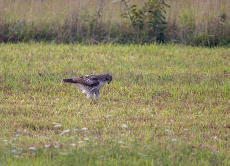 A red tailed hawk in a field sitting on its prey.