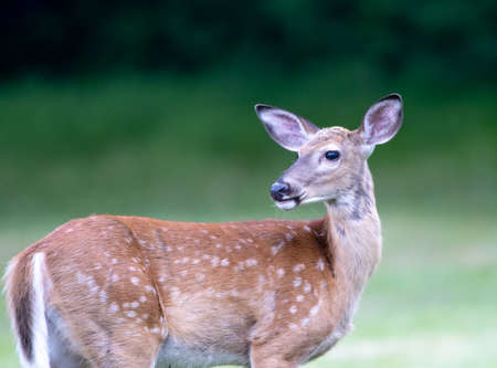 Wild white-tailed deer grazing on the green lawn in the summer. Banque d'images