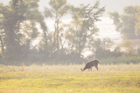 A white tailed deer grazing in the meadow in the morning sunlight.