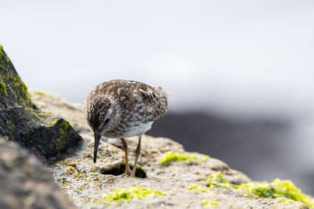 A Least Sandpiper on a rock by the ocean hunting for a meal. 版權商用圖片