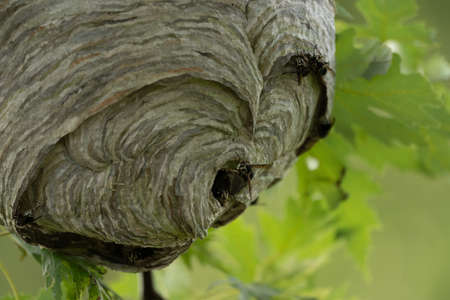 A close-up of a hornets nest in a maple tree in the summer. Stock Photo