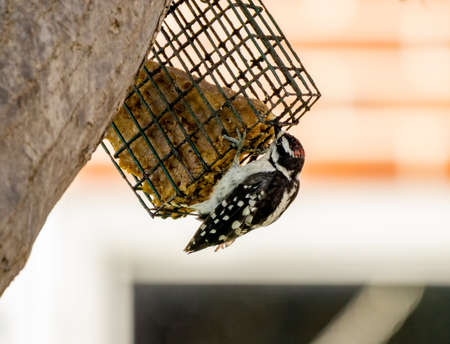 A woodpecker eating suet out of a suet feeder.