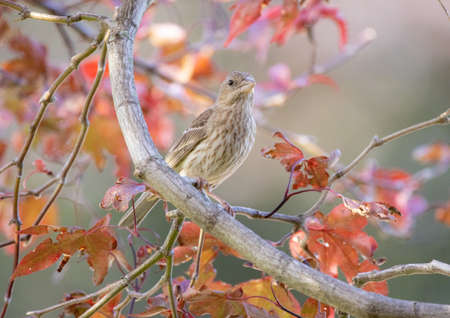 A Female House Finch in a Japanes Red Maple Tree in the backyard.