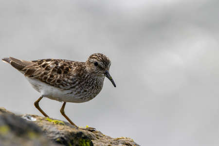 A Least Sandpiper on a rock by the ocean hunting for a meal.