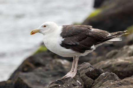 A Great Black Backed Seagull on a rock by the ocean.