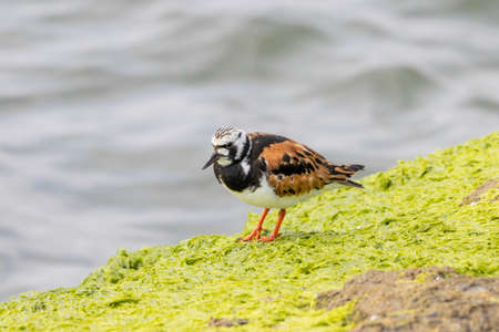 A ruddy turnstone standing on a rock at the shore.