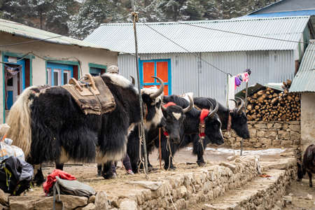 Loading some yaks with packs as they prepare to leave on the trail.