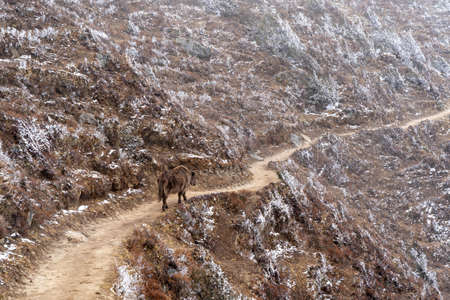 A yak walking on a mountain trail with snow lying on the hillside. 免版税图像