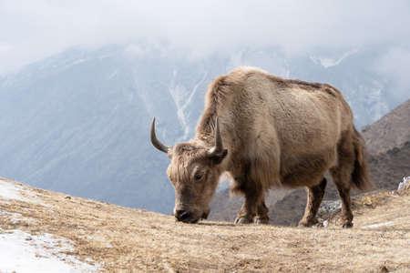 A domesticated yak grazing in the Himalaya highlands of Nepal. 免版税图像