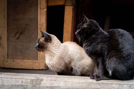 Two siamese cats sitting in an open doorway. 免版税图像