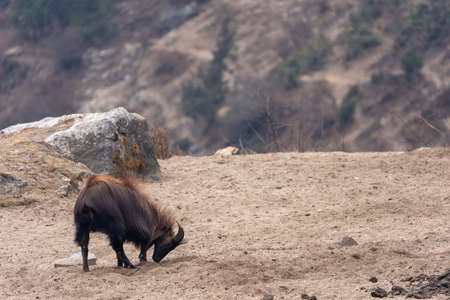 A Himalayan Tahr digging in the soil for salt in the Himalayan Mountains of Nepal. 免版税图像