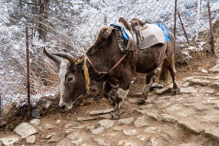 A pack yak on a stony trail in the mountains.